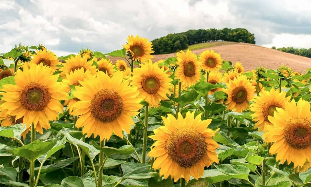 Sunflower Quotes | Quotes About Sunflowers