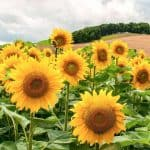 40+ Sunflower Quotes and Sayings to Bring Happiness