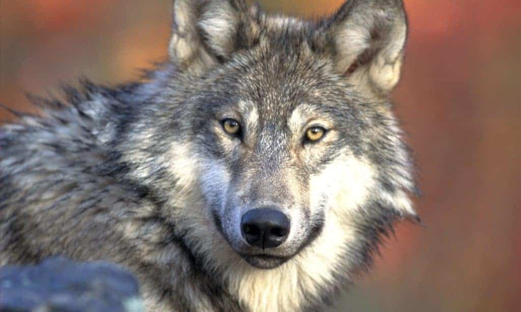 Wolf Quotes | Quotes About Wolves