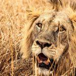 20+ Lion Quotes